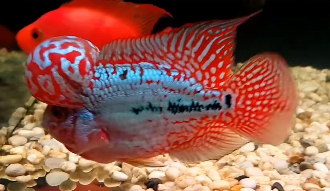 King Kamfa Flowerhorn Flowerhorn Betta Fish Types Cichlids Cichlid Fish