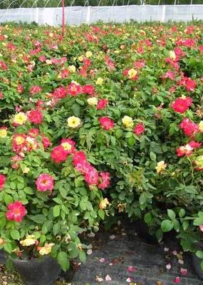 Campfire is a Continuous Blooming Rose for Cold Climates