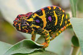 「Chameleon」の画像検索結果