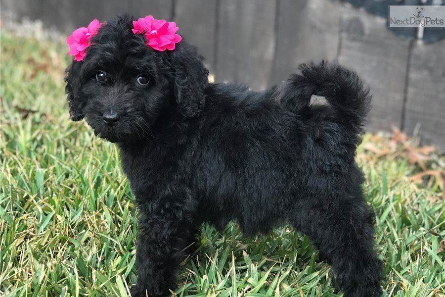Brookie Goldendoodle puppy for sale near San Antonio