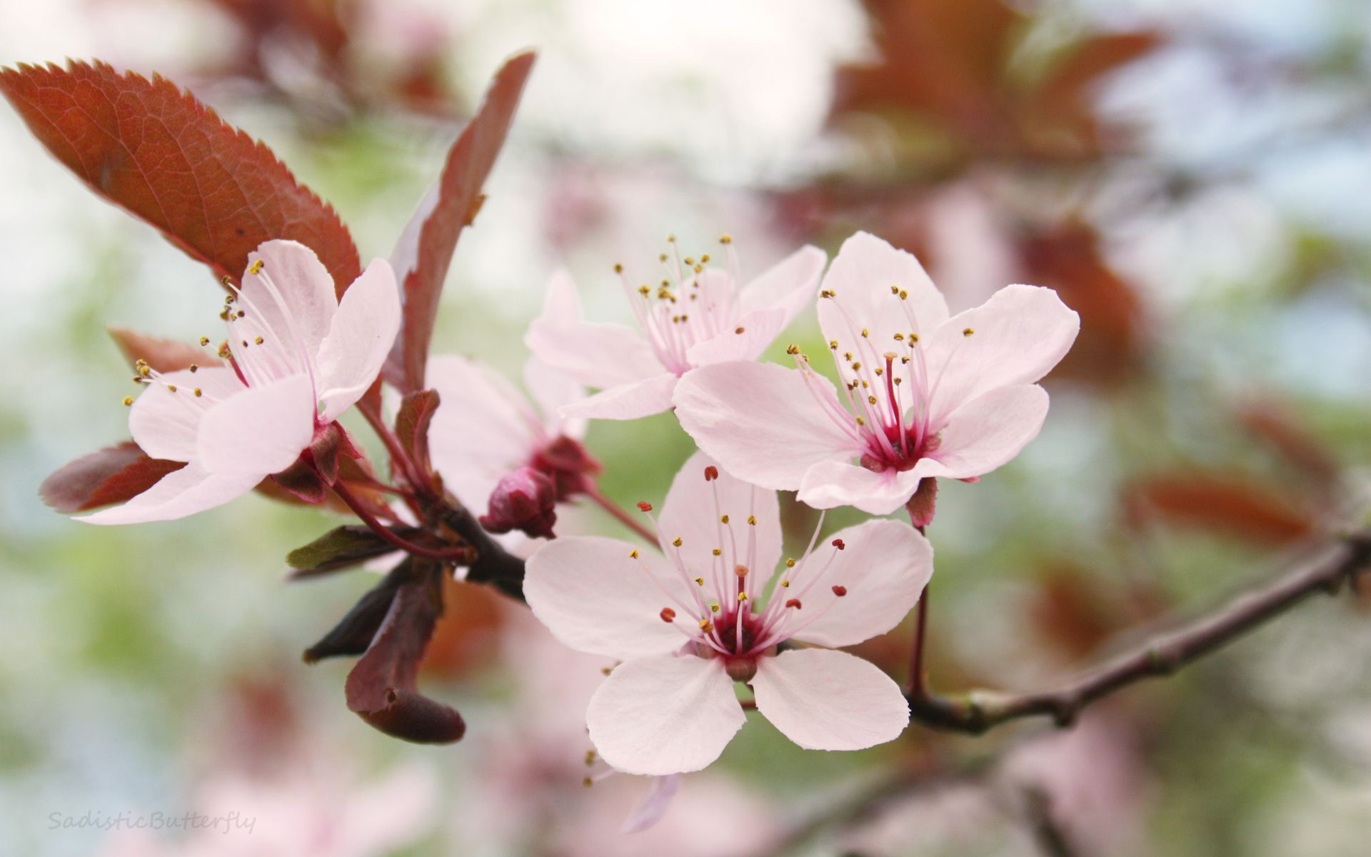 Cherry Blossom Branch Căutare Google Images Flowers Trees