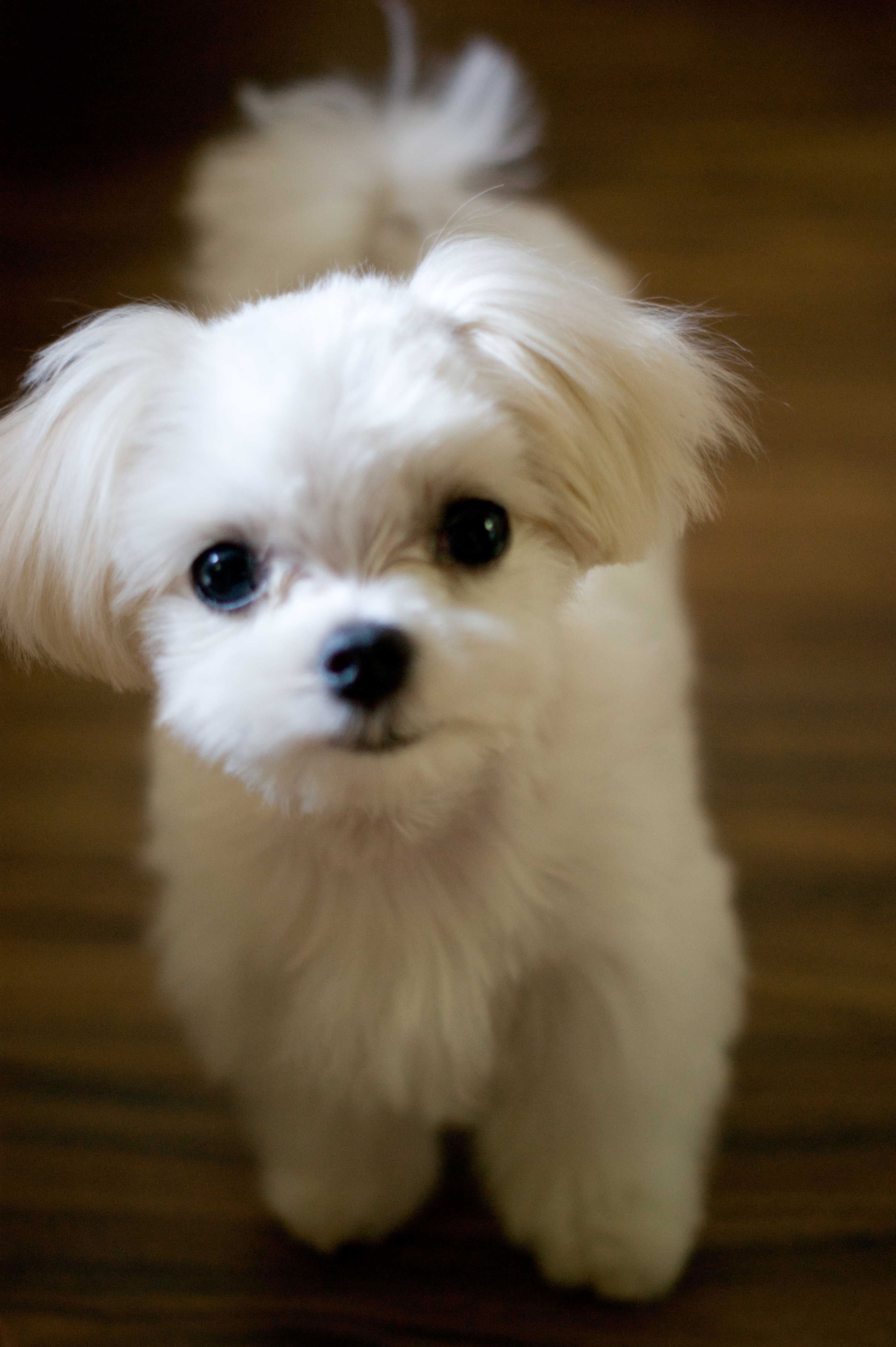 Adorable Maltese Puppy Maltese Puppy
