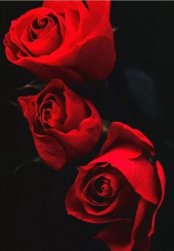 Red Roses Red Roses Beautiful Roses Red Flowers