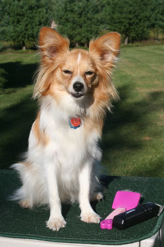 Papillons Are Not Yappers However They Must Be Trained At A Very Early Age The Appropriate Time To Bark D Papillon Dog Papillon Dog Puppy Cute Animals