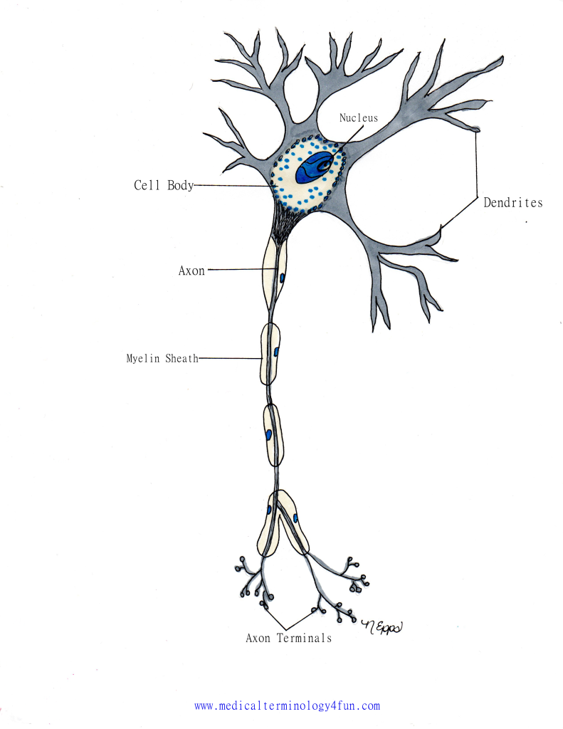 Neuron (The Nervous System) | Nervous System | Pinterest | Nervous ...
