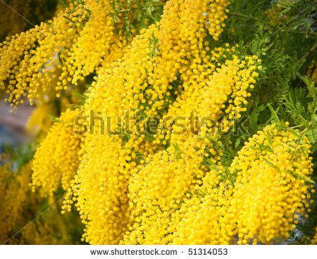 Yellow Mimosa From Brazil Cool Looking Fiori Di Campo Fiori