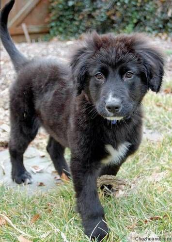 Black German Shepherd Puppy Lab Mix Puppies Collie Puppies Puppies