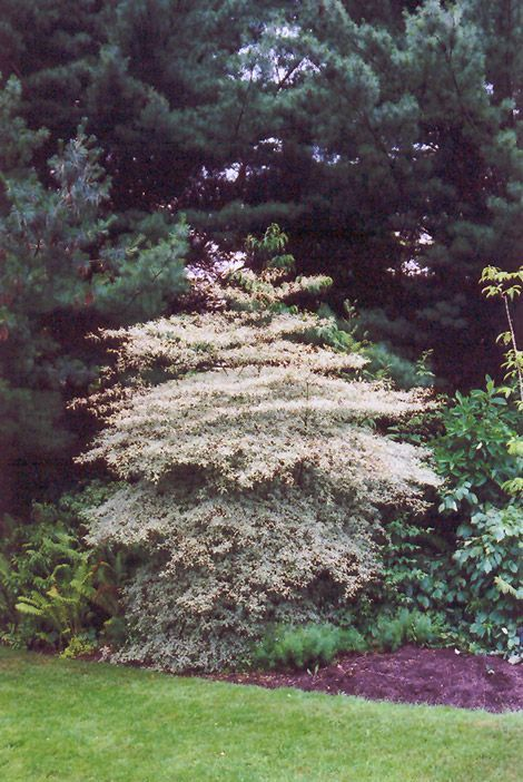 Variegated Pagoda Dogwood Cornus Alternifolia Argentea At