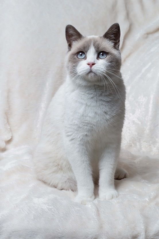 Alfiecatz British Shorthairs Colourpoint And White Gorgeous