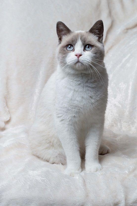 Alfiecatz British Shorthairs - Colourpoint and White ...