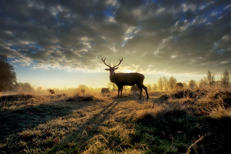 Bushy park stag. An amazing winter dawn