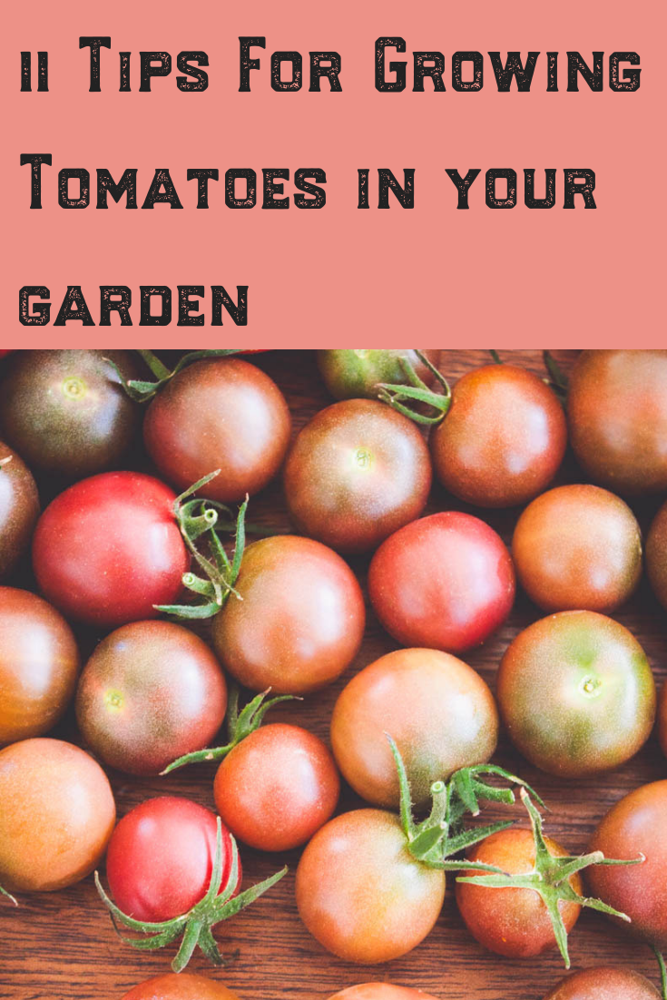 11 Tips For Growing Your Best Tomatoes Growing Tomatoes 400 x 300