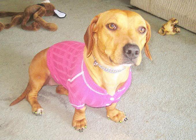 Http Www Bing Com Images Search Q Dachshund Pitbull Mix Photos