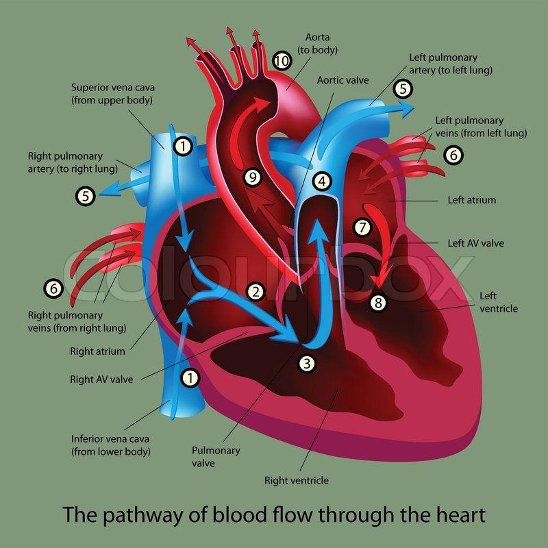Simple Heart Diagram Blood Flow