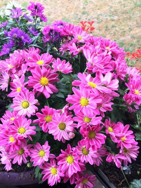 Chrysanthemen Winterfest