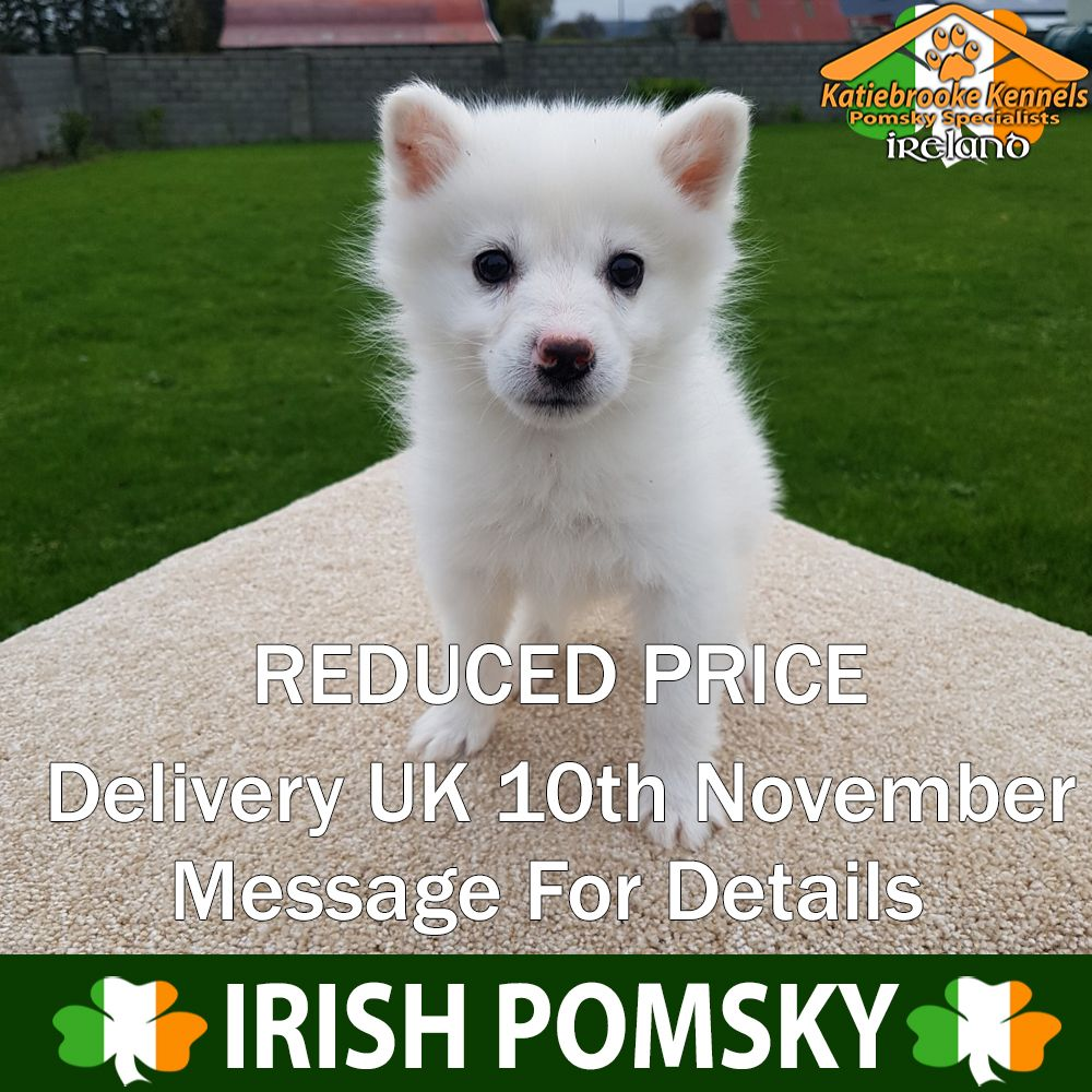 Pin On White Pomsky Puppy For Sale