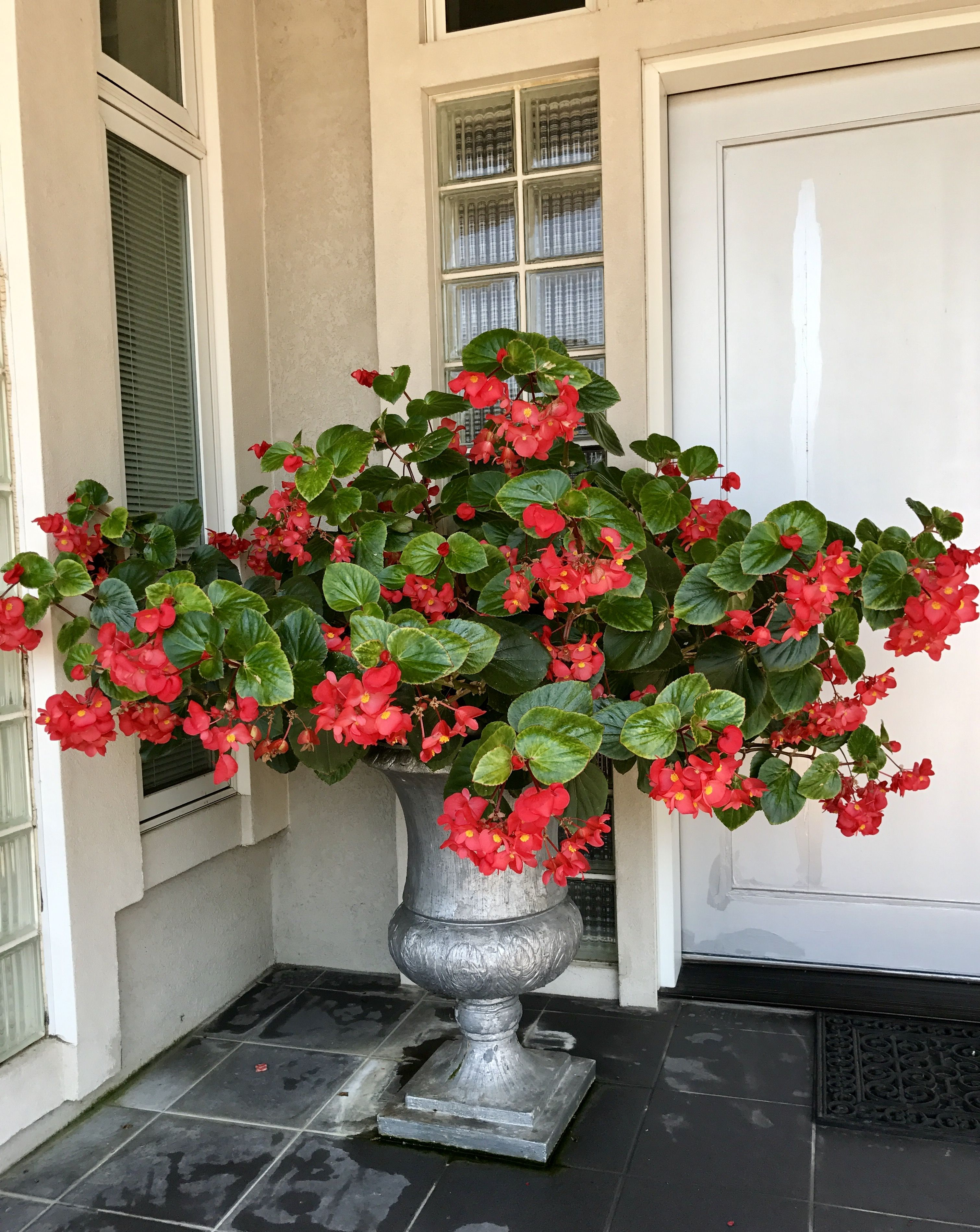 My Ginormous Begonia Container Garden Design Patio Container Gardening Container Gardening