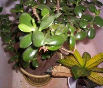 Jade Plant Crassula Ovata Caring And Advice Plant Care Houseplant House Plant Care Jade Plants