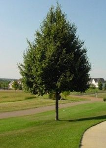 Shade Trees For Fort Collins At Just Trees Shade Trees Prayer Garden Ornamental Trees