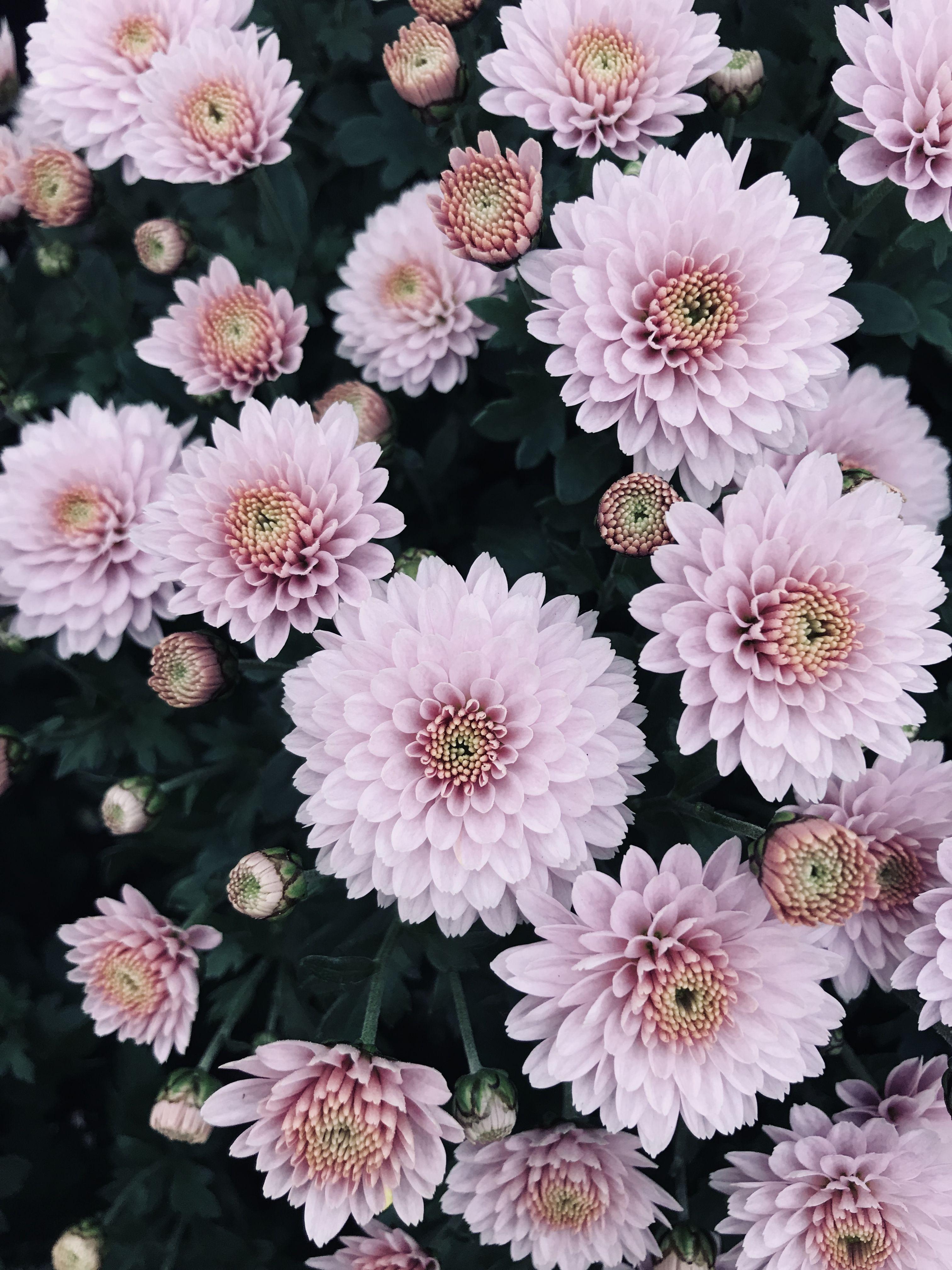 Dhalia Pinterest Natalia Escano Flower Phone Wallpaper Flower Wallpaper Chrysanthemum Flower Coolest chrysanthemum flower wallpaper