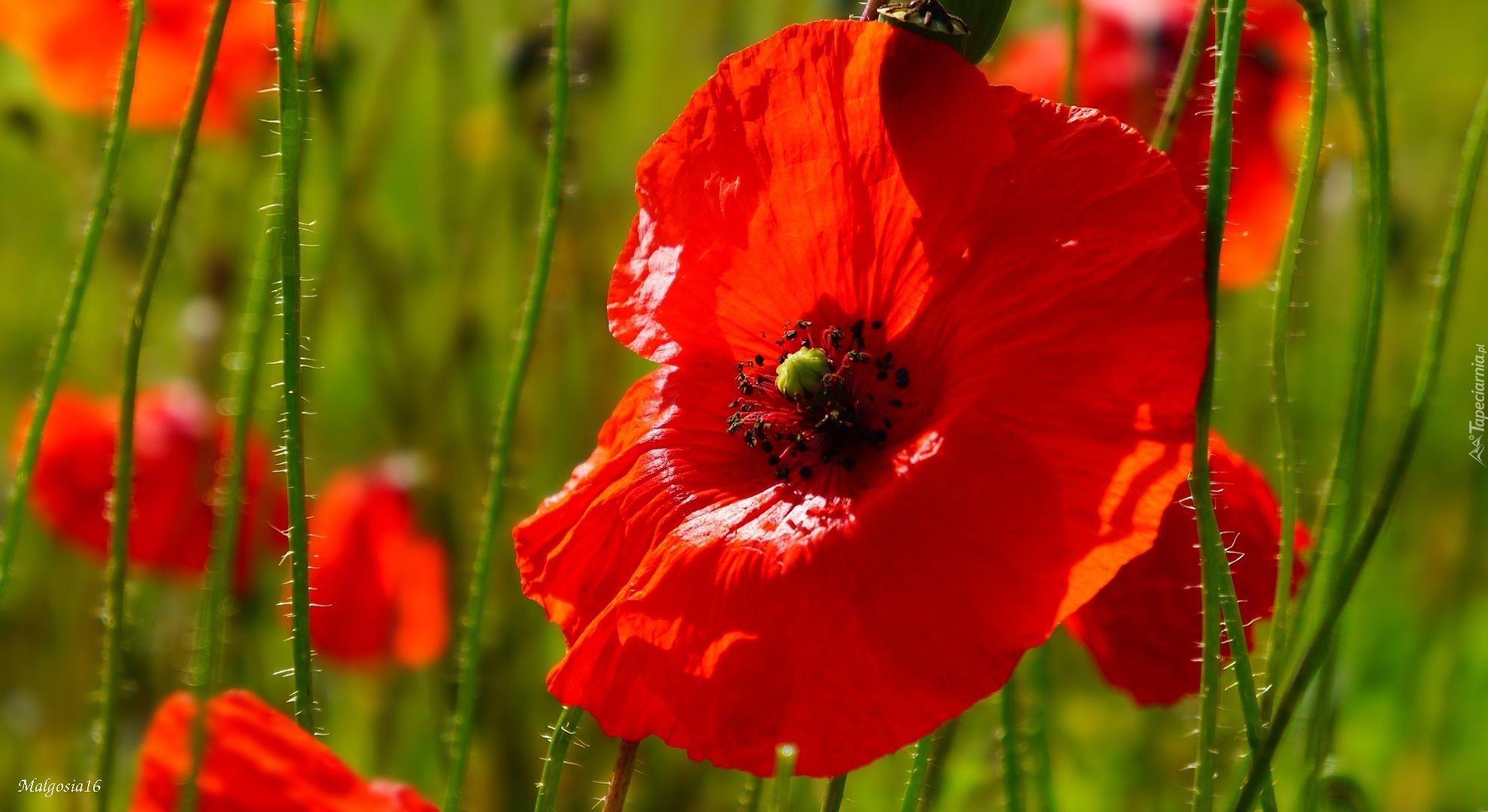 Czerwone Polne Maki Red Poppies Poppies Plants