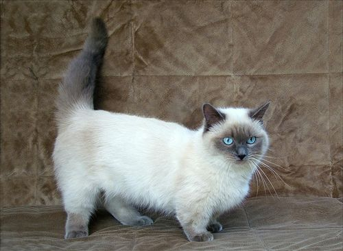 this kitty looks like a cross between out munchkin & our