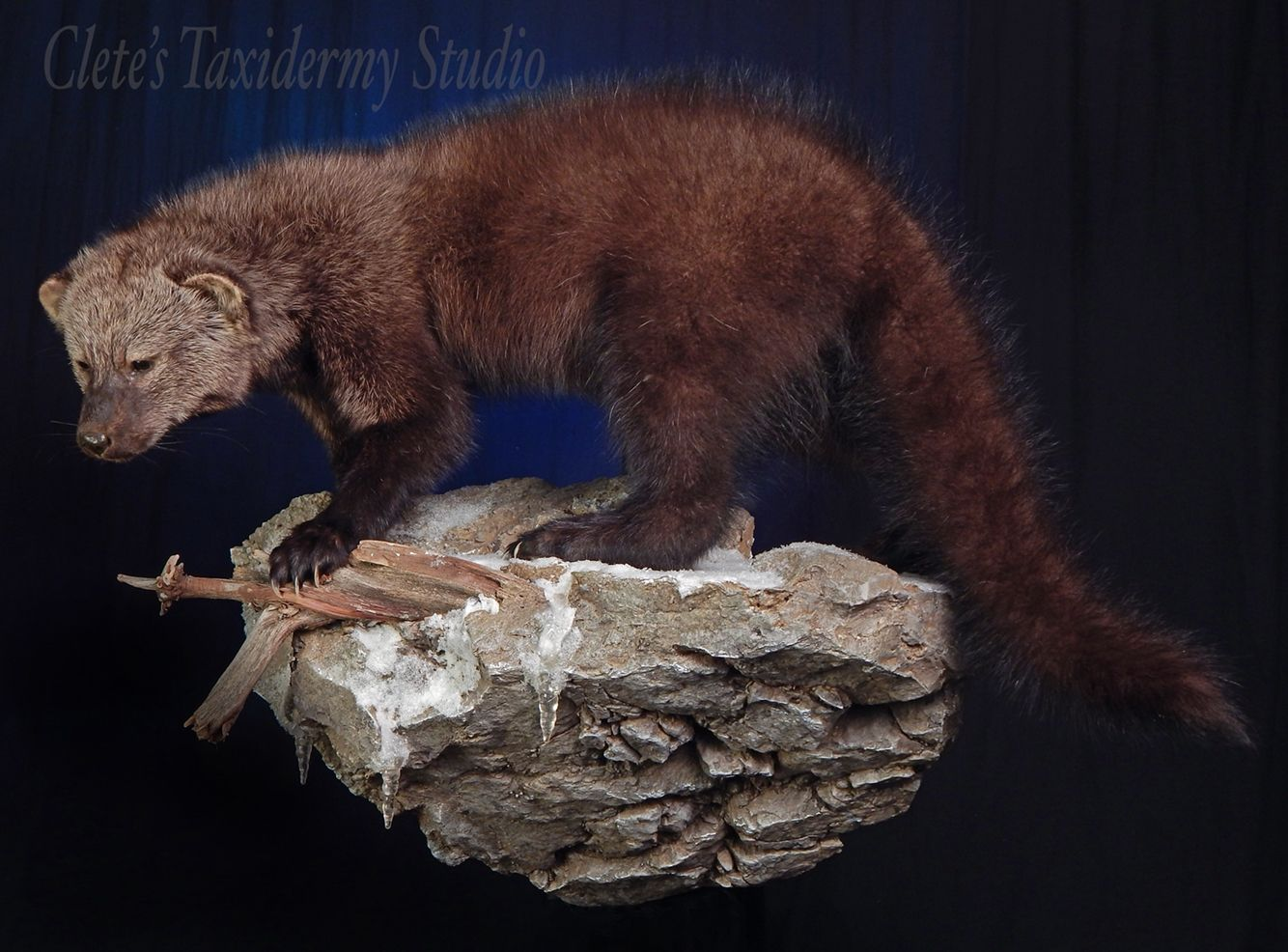 Clete's Taxidermy Studio Taxidermy, Fisher cat, Fisher