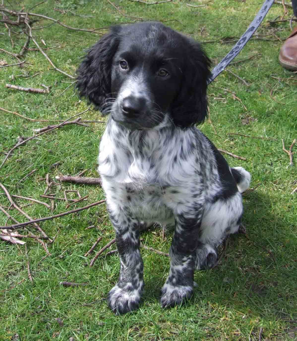Dog Breeds E English Cocker Spaniel Page 5 Spaniel English Springer Spaniel English Cocker Spaniel