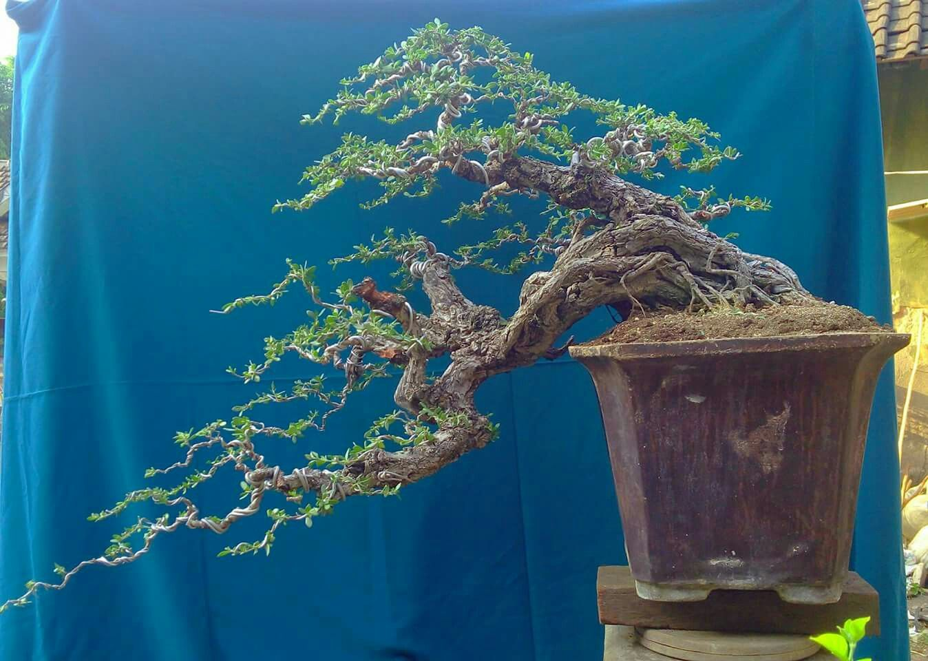Example for top Bonsai tree, Bonsai, Tree