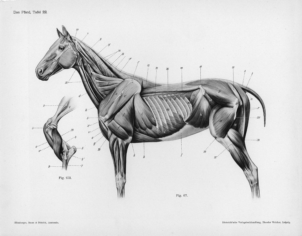 Horse anatomy by Herman Dittrich – full body musculature | Horse ...