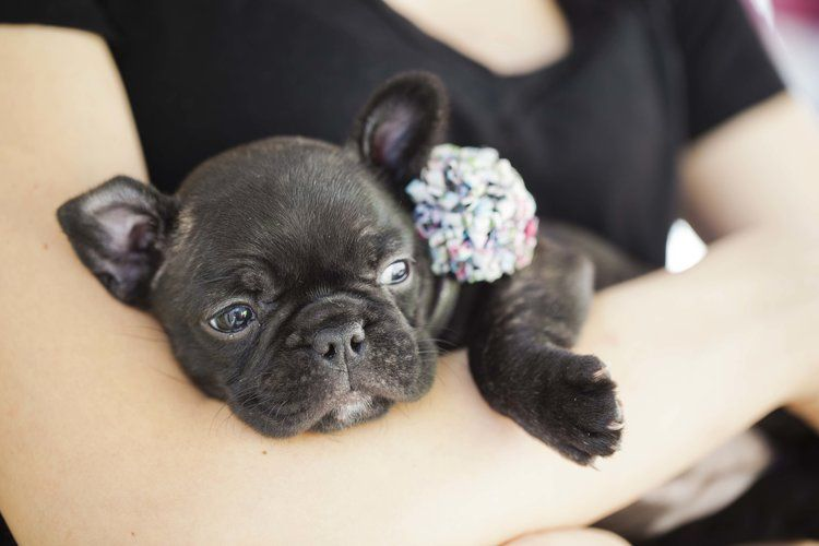Black French Bulldog Puppy Now Living In Oregon Bulldog Puppies