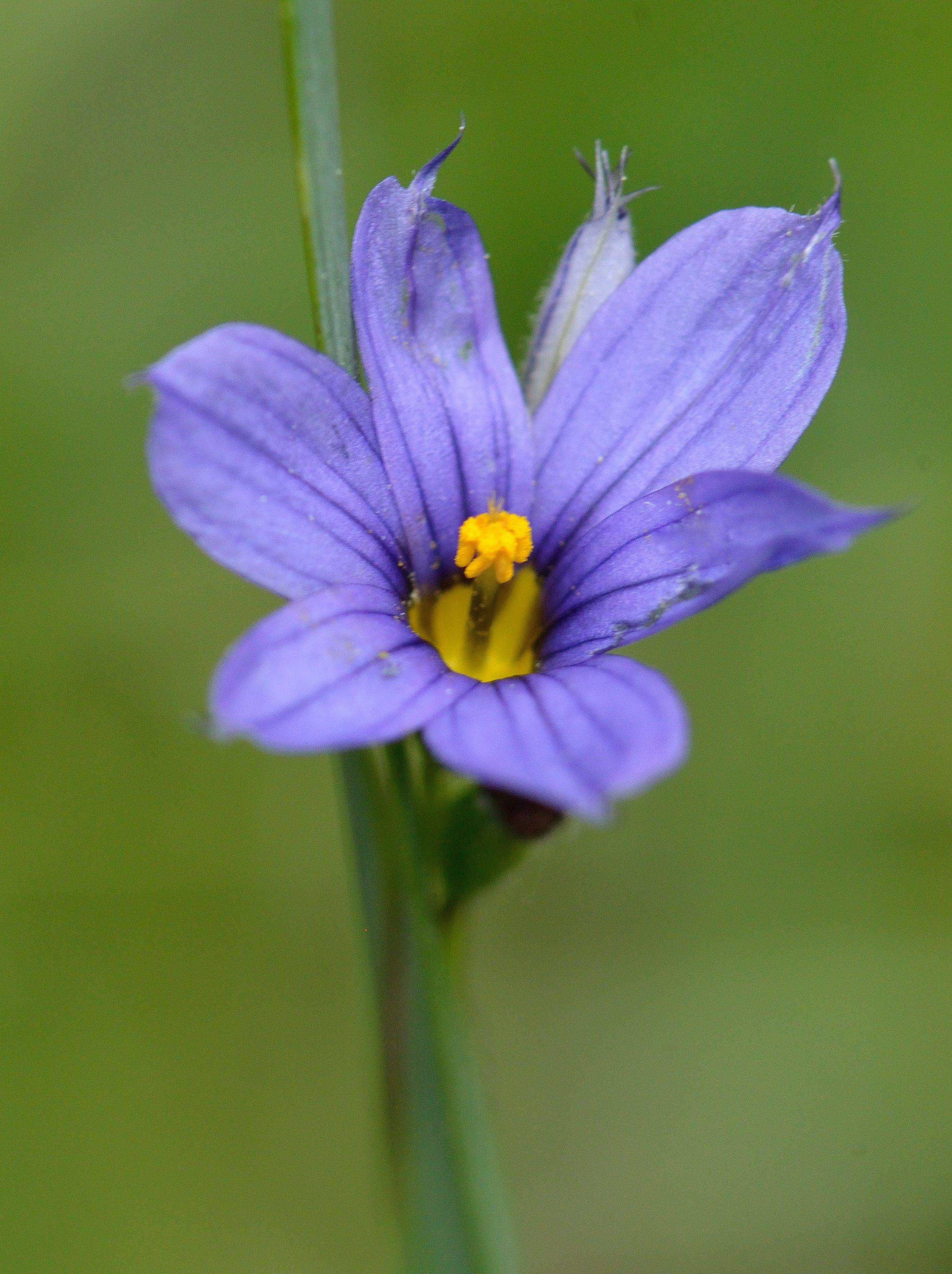 Blue-eyed Grass (Sisyrinchium Montanum) Bermuda