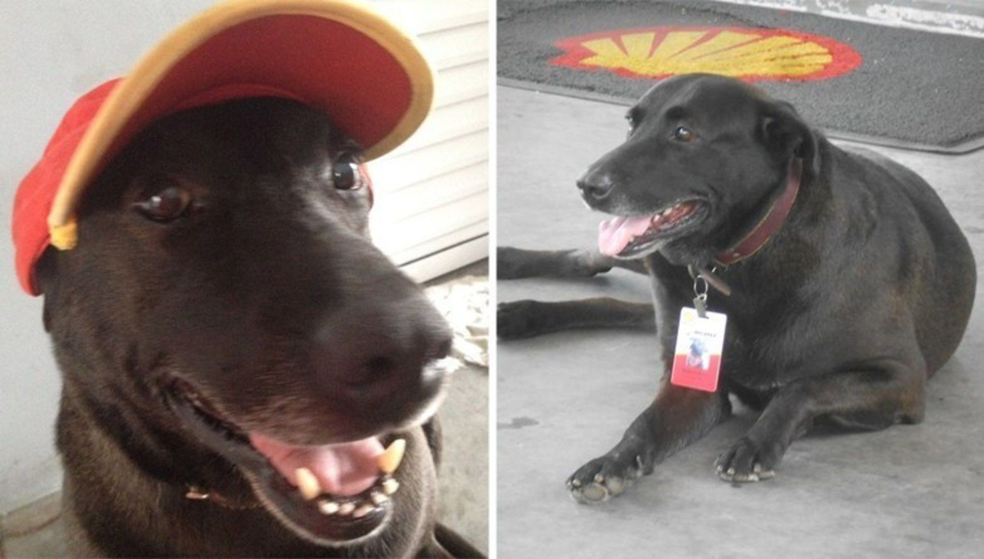 Dog Abandoned At Gas Station Is Now Its Cutest Employee With Images Dogs Shell Gas Station Jack Russell Terrier