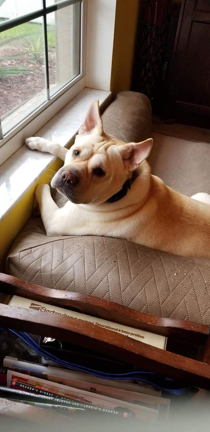 Adopt Rosebud Rosie On Dog Dogs Pets French Bulldog