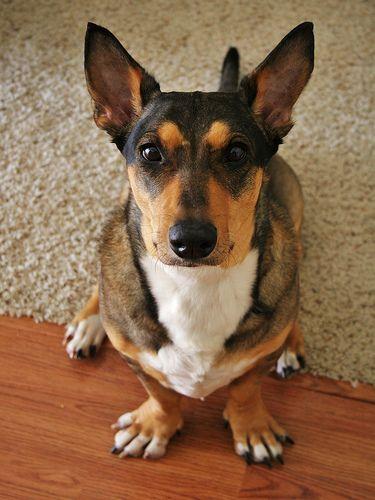 Basset Hound German Shepherd Mix Doggies Basset Hound Or
