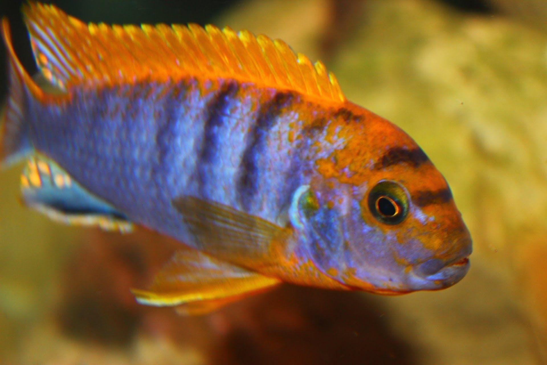 Youtube Cichlids African Cichlid Aquarium African Cichlids
