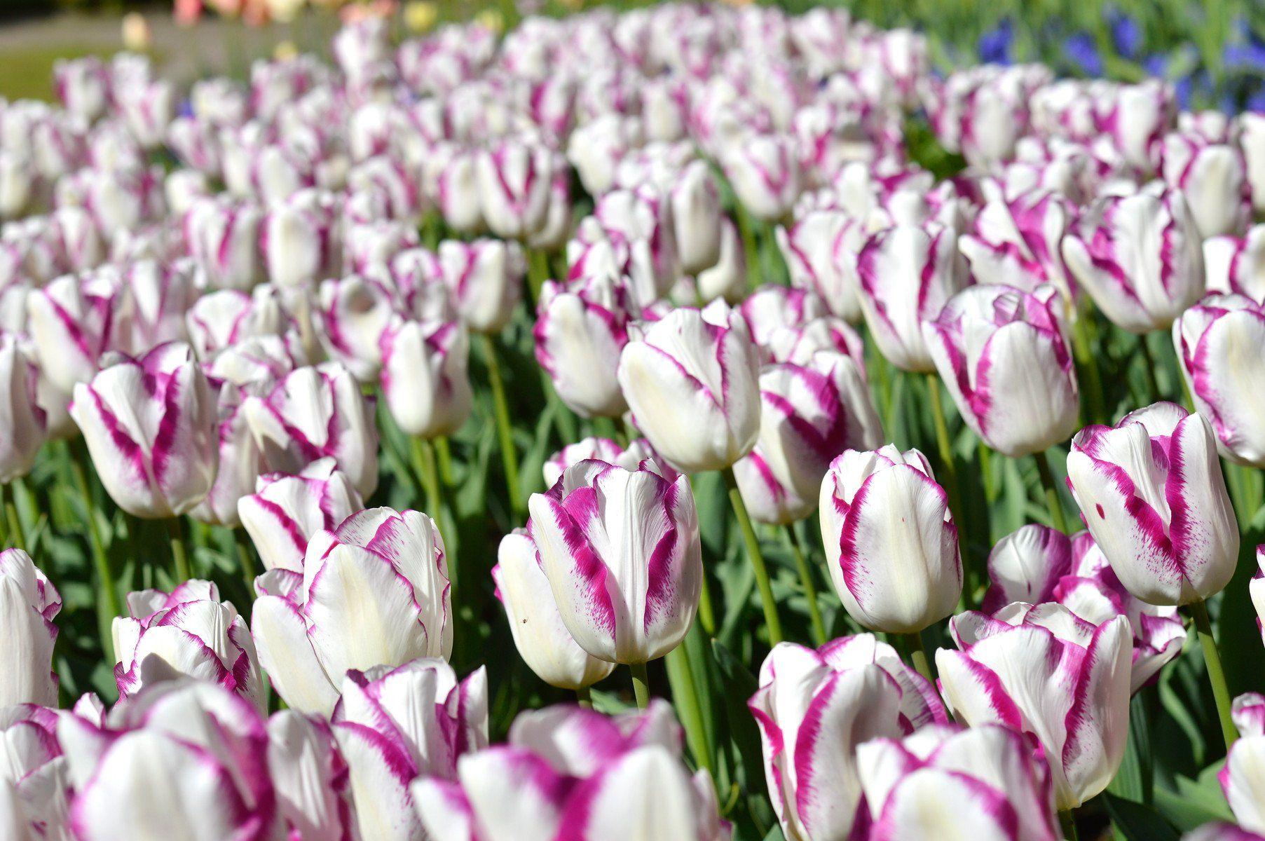 Tulip Affair Flower Bulbs Bulb Flowers Tulips Flowers