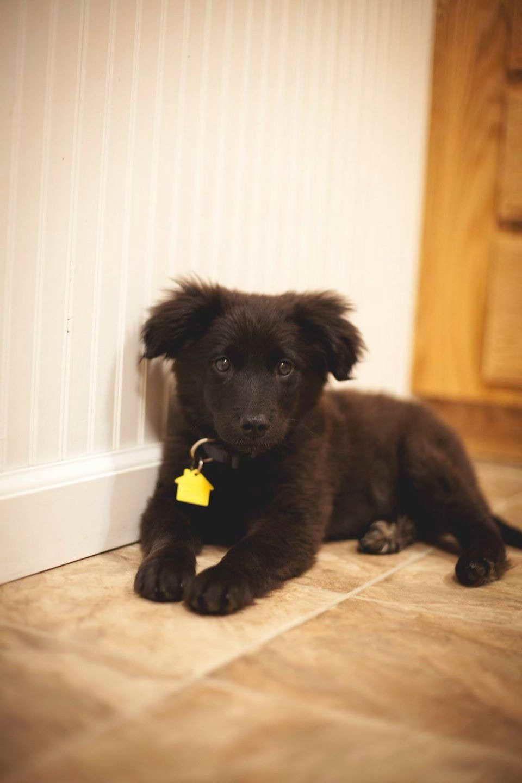 Australian Shepherd Lab Mix For Sale : australian, shepherd, Australian, Shepherd, Labrador, Puppies, Puppies,