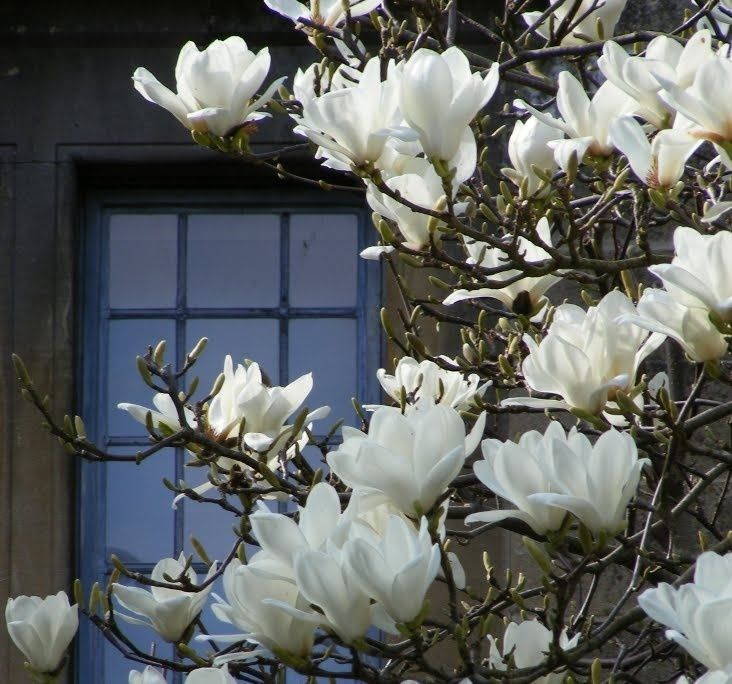 White Magnolia Tree Nz Google Search Landscaping Ideas White