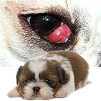 Cherry Eye In Dogs Can This Be Treated Without Expensive Surgery