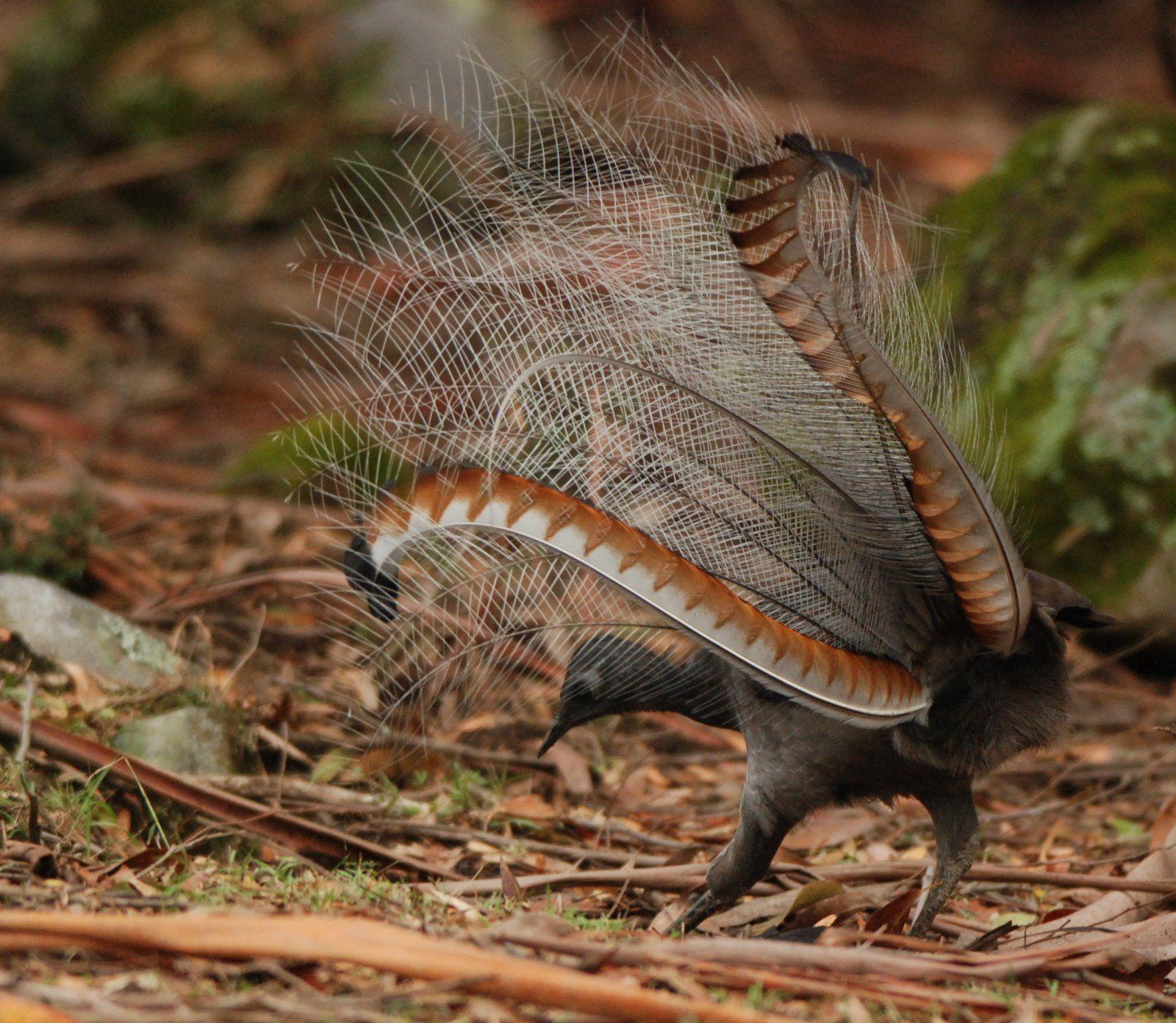 superb lyrebird Birds Pinterest Animals