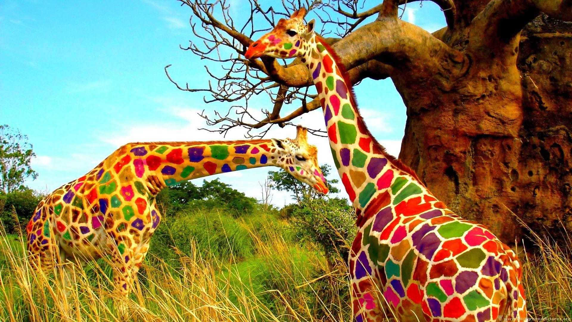 Nature Animals Landscape Giraffes Trees Colorful Grass Humor Photo Manipulation 1080p Wallpaper Hdwallp Animal Wallpaper Funny Animal Videos Animals