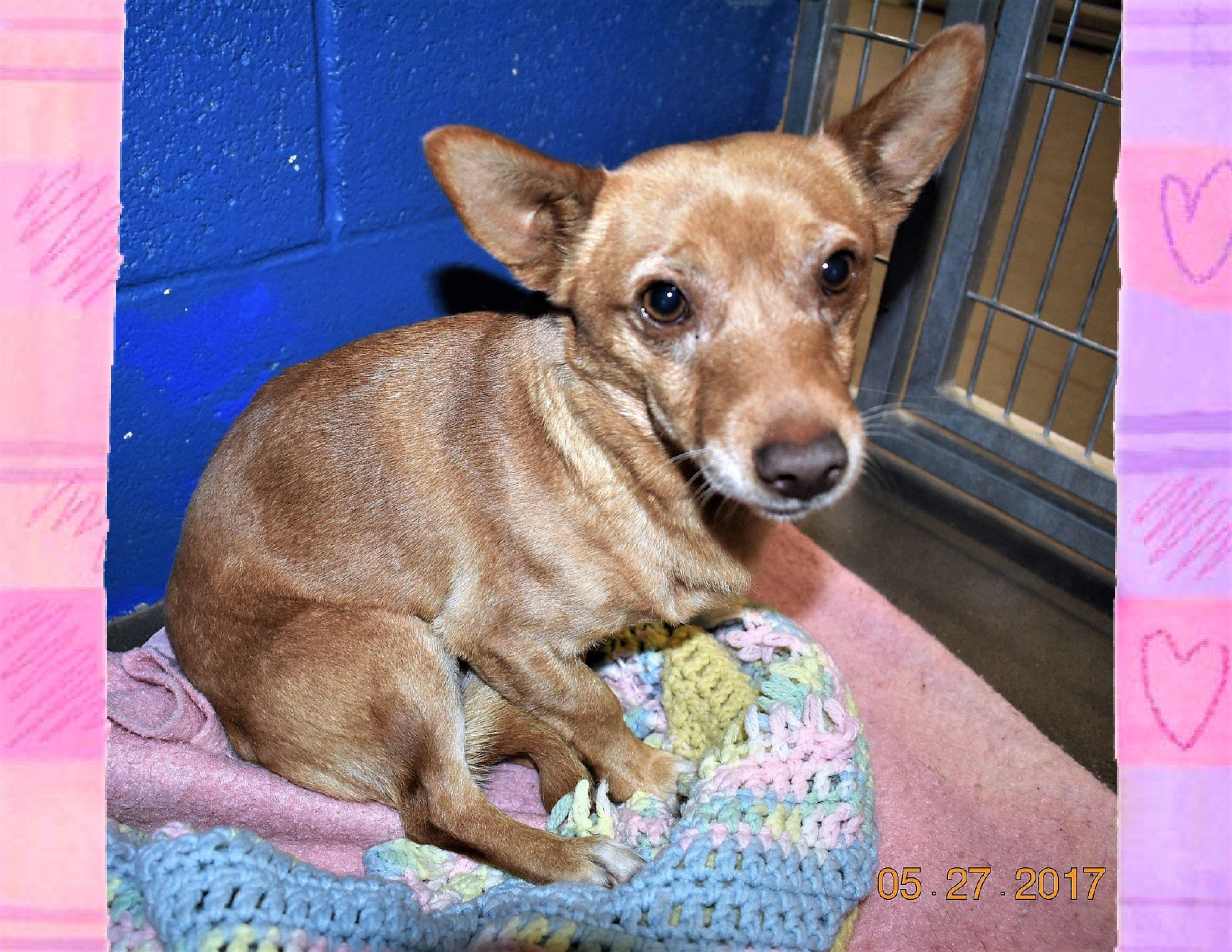 Chi Corgi Dog For Adoption In San Jacinto Ca Adn 561180 On