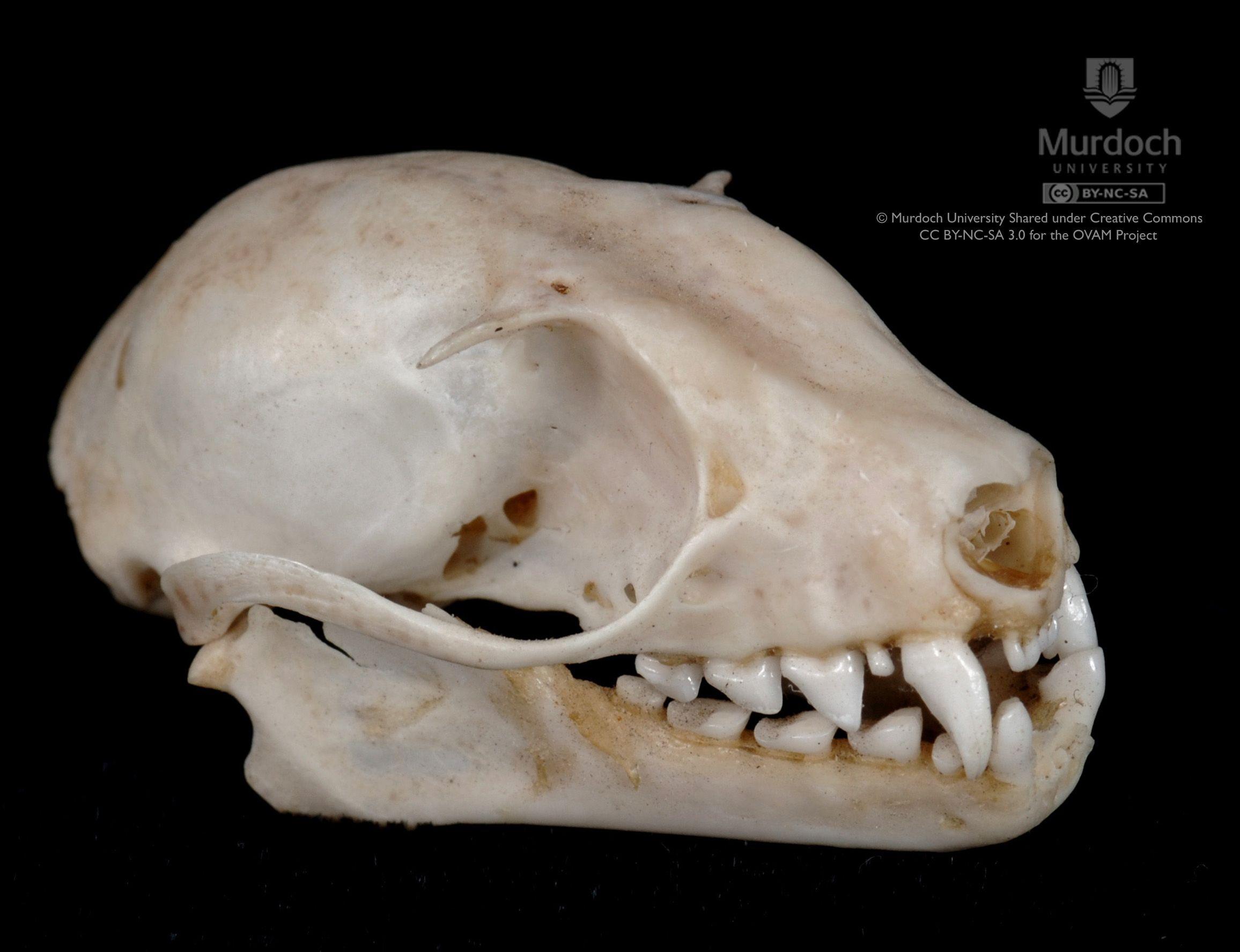 fruit bat skull bat anatomy anatomy study fruit bat animal skulls inktober [ 2312 x 1776 Pixel ]