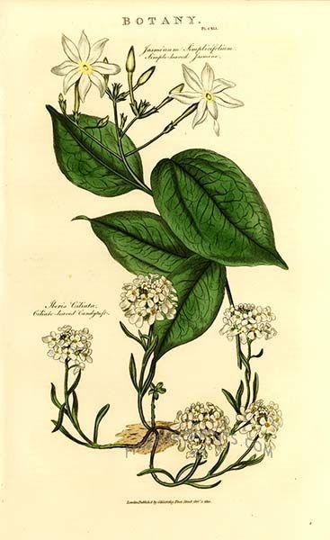 Jasmine illustration | Botanical drawings, Botanical ...