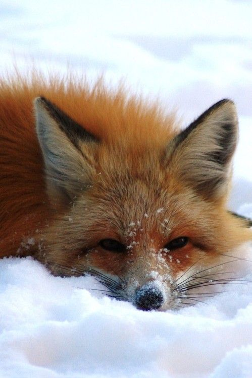 Fox in the Snow. Looks like the neighbourhood fox waiting for the garbage to be put down to the curb.