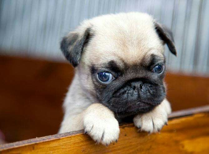 Pug Puppy Face Dog Quizzes Dog Quiz Animal Quiz