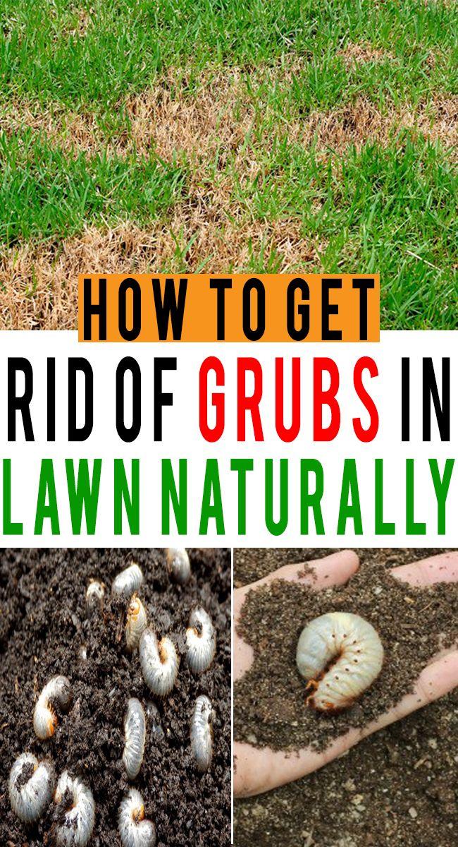 Get Rid Of Grubs In Lawn Naturally How Garden Grubs Garden