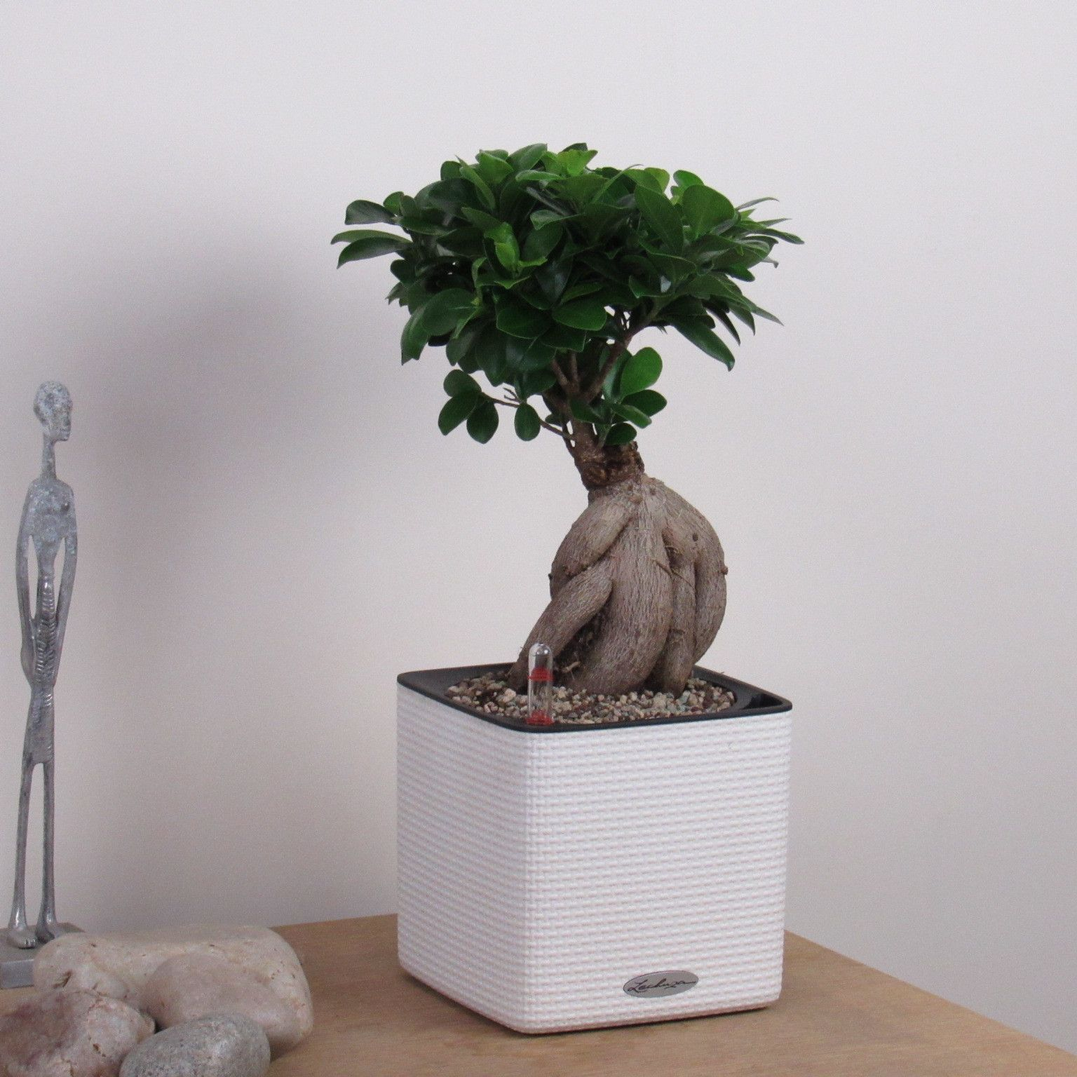 bonsai tree for office. Bonsai Tree Ficus Ginseng Contemporary Indoor House Or Office Plant Co For A