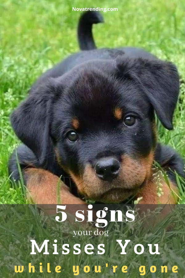 Top 5 Signs Your Dog Misses You While You Re Gone In 2020 Rottweiler Facts Rottweiler Funny Labs